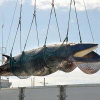Японские охотники убивают китов под предлогом научных исследований