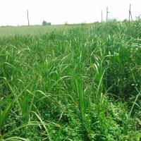Энергетическую траву вырастят в Украине