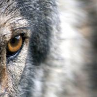 Особо опасный вид. Что происходит с популяцией волка в Беларуси