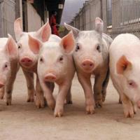 Под Молодечно собираются строить ещё один свинокомплекс. Что скажет общественность?