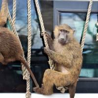 В сафари-парке в Великобритании заметили бабуинов с ножами и бензопилой