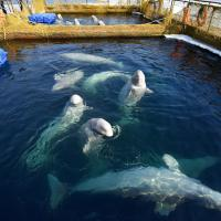 Отловщики белух и косаток из «китовой тюрьмы» признались, что поймали их для зарубежных океанариумов