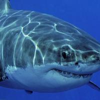 Букмекеры начали принимать ставки на миграцию белых акул