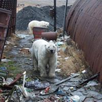 На Новой Земле нашествие белых медведей. Но только ли климат причина этому?