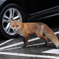 Городские лисицы из Лондона стали похожи на домашних собак. Человек тут ни при чем