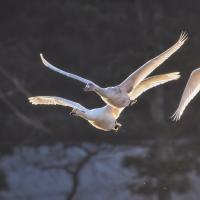 В Новолукомле все чаще находят мертвых лебедей