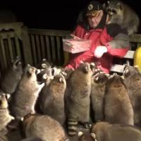 Канадец исполняет волю покойной жены и кормит енотов по ночам