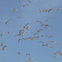 Чайки отвоёвывают крыши в Минске: люди ищут спасения (фото)