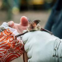 Спасти рядового Кажана вопреки предрассудкам. Как и зачем на Полесье ищут редких летучих мышей
