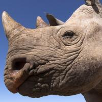 Робот для имплантации эмбрионов поможет носорогам выжить