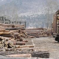 IKEA много лет покупала незаконно вырубленный в России лес