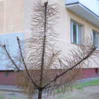 Как не надо садить деревья