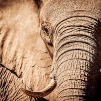 В Ботсване нашли мертвыми 350 слонов. Ученые не исключают коронавирус