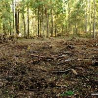 Распил вместо прорыва: почему в Беларуси почти не осталось спелых лесов и другие парадоксы лесного хозяйства