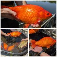 Гигантские золотые рыбки вывелись в США и вредят экосистеме