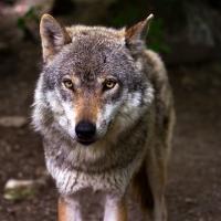 Зоолог Николай Черкас: «В пуще не было зафиксировано ни одного случая нападения волка на человека»