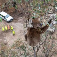 С дронами и теплоснимками. Посмотрите, как спасают коал, раненных на пожарах в Австралии