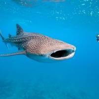 Как технологии НАСА помогают спасти китовых акул