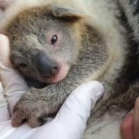 В Австралийском парке дикой природы родилась коала – первая после страшных пожаров