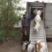 В Орегоне наняли более 200 коз, чтобы они предотвратили лесные пожары
