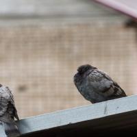 Голубиная песня. В Бресте во время капитального ремонта дома замуровали живых птиц