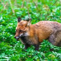 В Румлёво появилась «подозрительная» лиса – жители опасаются, что она бешеная