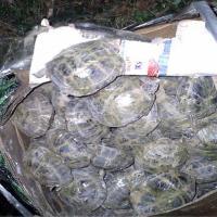 Осчтановить незаконную контрабанду черепах