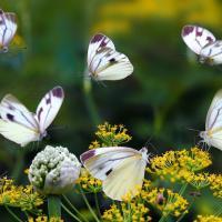В Британии проходит перепись бабочек