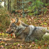 Мать и сын - волки. Учёные начали GPS-наблюдение за двумя животными на Полесье