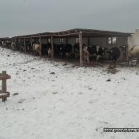 Скотские условия для бурёнок: на предприятии «Дудичи-Агро» животных держат на морозе