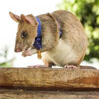 В Великобритании крыса получила медаль за храбрость. Она нашла четыре десятка мин