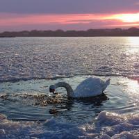 Лебеди не улетели на юг? Всё в порядке!