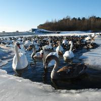Зимой водоплавающие птицы выбирают водохранилище Криница