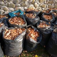 Зонтик из феромонов. В Гродно потратят почти 400 тысяч евро на спасение каштанов