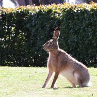 Прырода настолькі ачысцілася, што ў Дом урада вярнуліся зайцы. Што вядома пра зайца на плошчы Незалежнасці