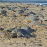 Индия на карантине: Пока люди сидят дома, оливковые черепахи отложили на пляже более 60 миллионов яиц