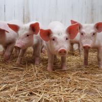 Общественность приглашают обсудить ОВОС свинокомплекса под Молодечно