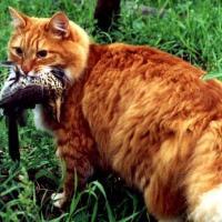 Ученые обвиняют кошек в уничтожении редких птиц Австралии