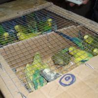 Скорее живы, чем мертвы: дело об исчезнувших попугаях зашло в тупик?