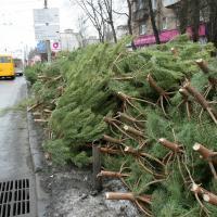 Праздничный круговорот ели. Куда увозят новогодние деревья?