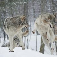 Волков в Беларуси не ценят. Но если они исчезнут, то мы можем потерять дикие леса