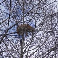Рысь заснула на верхушке дерева. Зоологи сделали редкие фото в Налибокской пуще