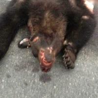 На трассе Минск — Могилев неизвестный насмерть сбил медведя и скрылся — водителя ищут