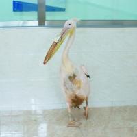 Пеликану вживили напечатанный на 3D-принтере клюв