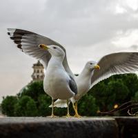 Римские чайки начали охотиться на крыс и голубей. А валлийские — на кроликов