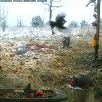 Зимний стрим от птиц и зверей Беловежской пущи – круглосуточно!