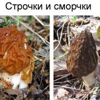 Сморчки не то, чем кажутся? Как не отравиться весенними грибами