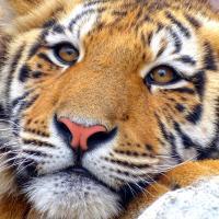 Десять тигров застряли на польско-белорусской границе. Один уже умер от истощения (обновлено)