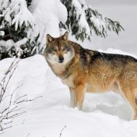 Любовь до гроба и жесткая иерархия. Шесть фактов о диких волках