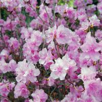 Ботанический сад приглашает на «Неделю рододендронов»